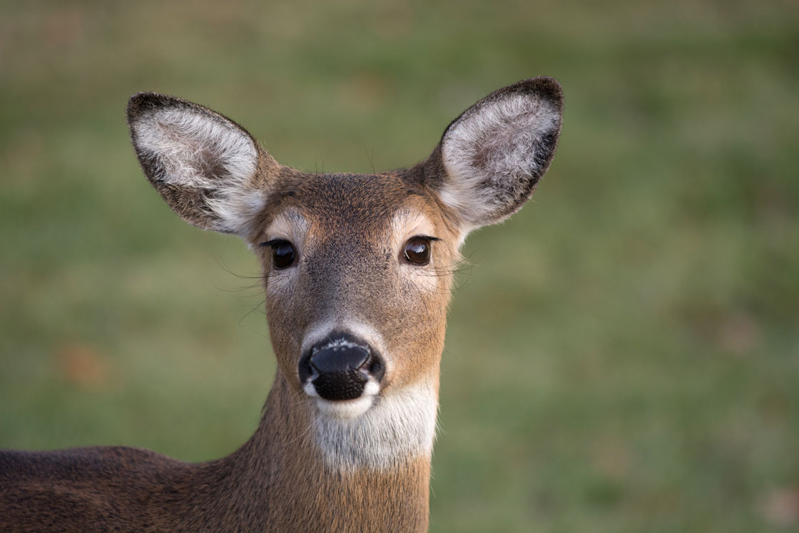Deer Seasons Likely to Remain Conservative
