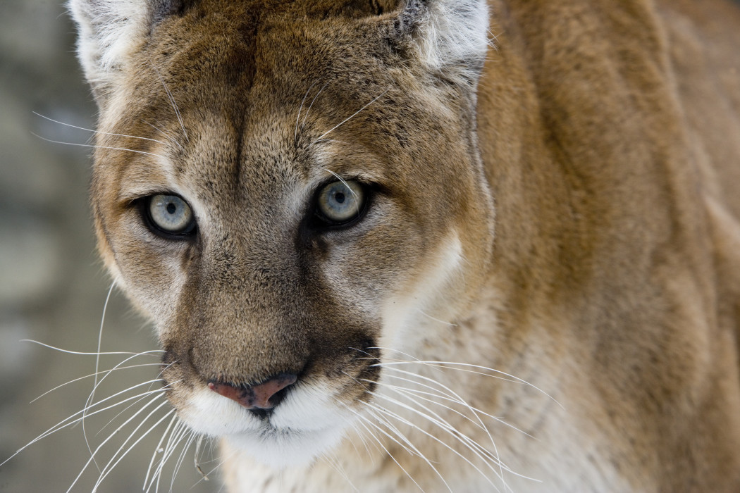Hunter and Outfitter Guilty in Mountain Lion Poaching