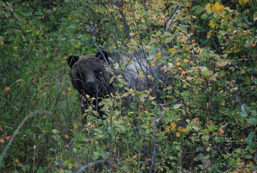Research Trapping of Grizzly Bears to Begin in Grand Teton
