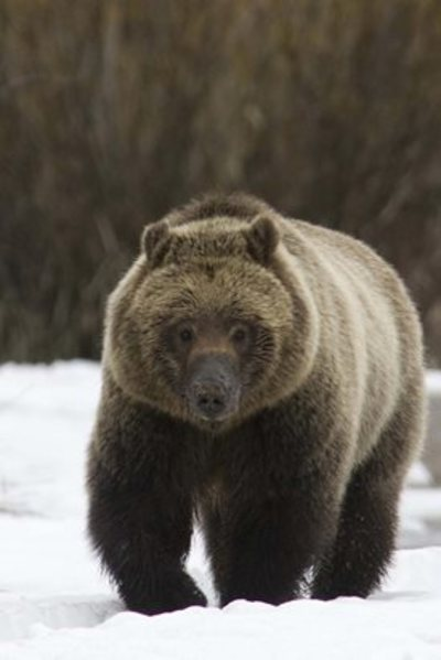 First Bear Sightings Of The Year In Yellowstone National Park