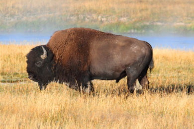 Woman Injured after Bison Knocks Her to Ground in Yellowstone National Park