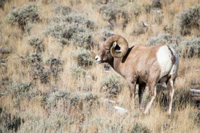 Public Comment Sought on Ferris-Seminoe Mountains Bighorn Sheep Herd