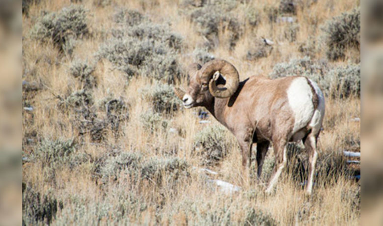 Public Comment Sought on Ferris-Seminoe Mountains Bighorn Sheep Herd