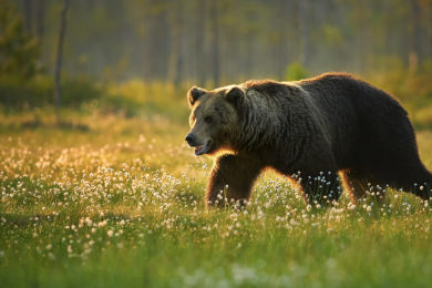 Game and Fish Completes Investigation after Antler Hunter Injured by a Grizzly Bear