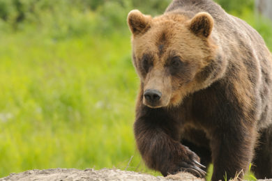 Grizzly Bear Injures Man near Cody This Morning