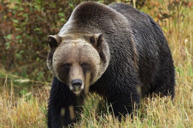 Grizzly Bear Injures Man Looking for Shed Antlers near Dubois