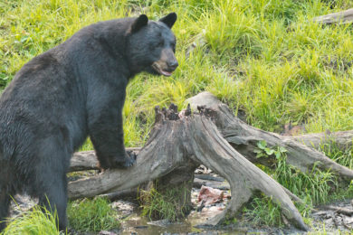 Black Bear Euthanized in Evanston After Wandering into Neighborhoods