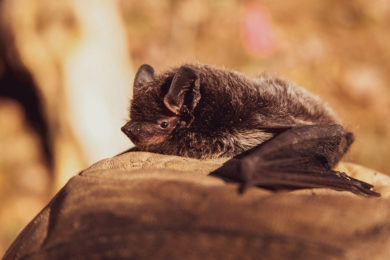 Suspicious Bat Found in Rock Springs Tests Positive for Rabies