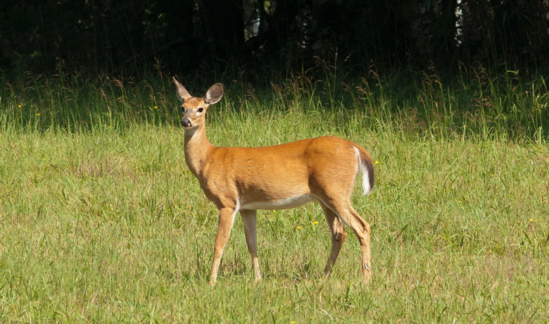 UW Study Reveals Impacts of Climate Change on Migrating Mule Deer