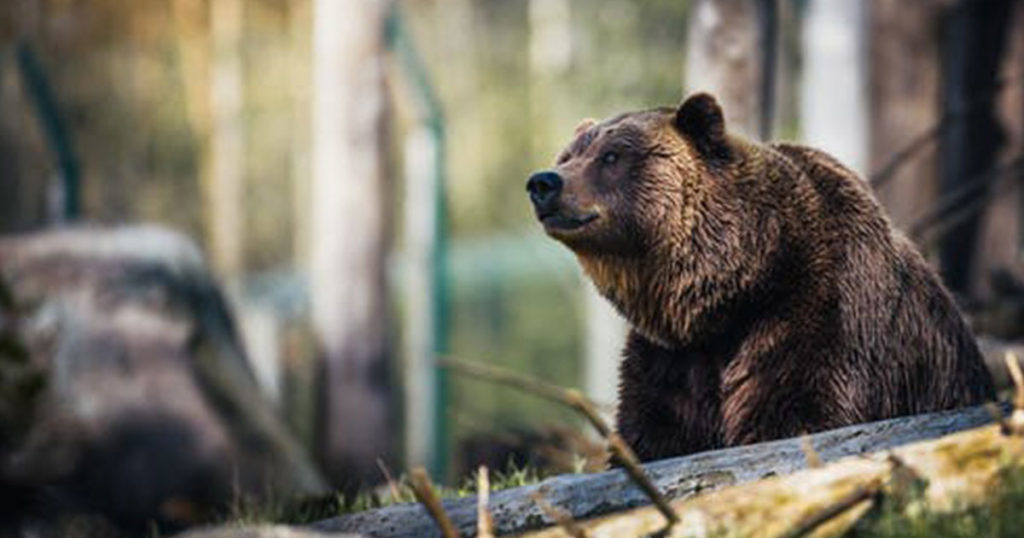Biologists to Start Grizzly Bear Captures in Yellowstone National Park