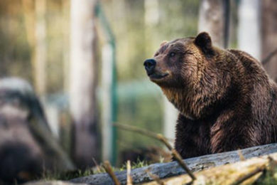 Biologists to Capture Grizzly Bears in Yellowstone National Park