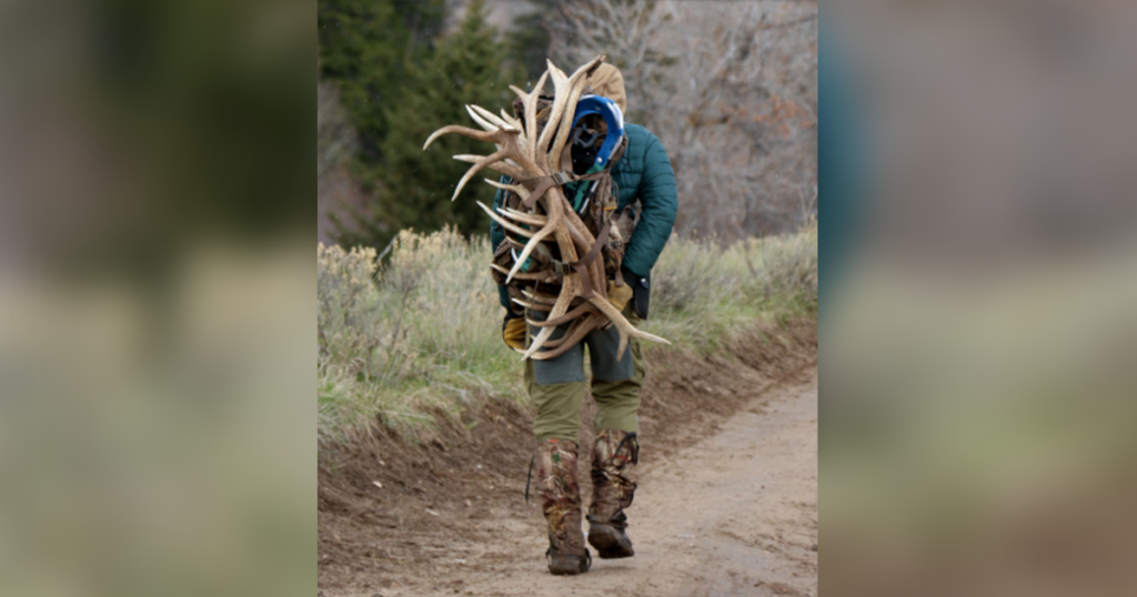 Several Antler Poachers Sentenced