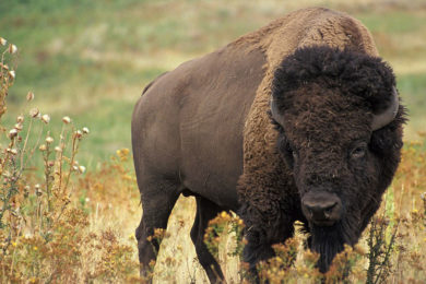 Woman Gored After Approaching Bison in Yellowstone National Park