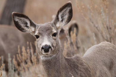 UW Study Shows Surface Disturbance Can Limit Mule Deer Migration
