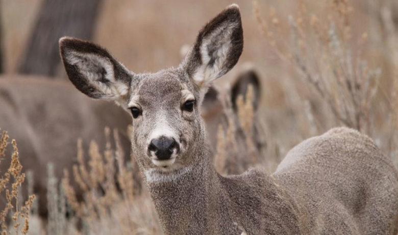 UW Study Shows Surface Disturbance Can Limit Mule Deer Migration