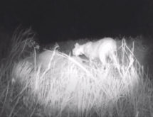 VIDEO: Investigation Into Wyoming Poaching Tip Reveals Rare Bobcat Predation of Deer
