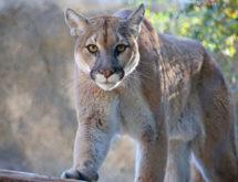 Mountain Lion Spotted in a Park Near Casper