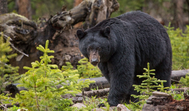 Black Bear Killed in Yellowstone After Entering Campsite, Biting Backpackers