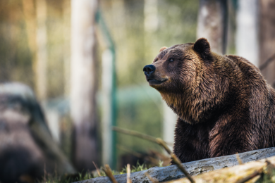 Grizzly Bear Injures Hiker in Cody