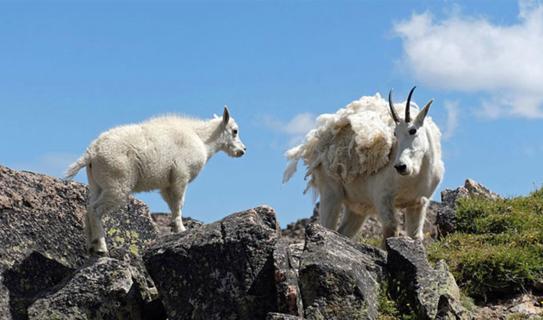 Non-Native Mountain Goat Culling to Resume in Grand Teton National Park