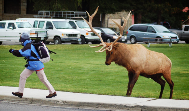 YNP Warns Visitors: Bull Elk Can Be Extremely Dangerous During Rut