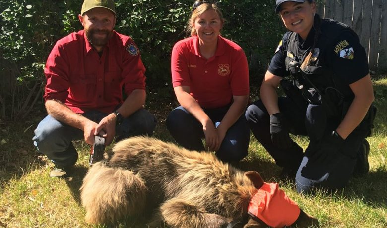 Young Bear Wanders Into Laramie, Released Unharmed