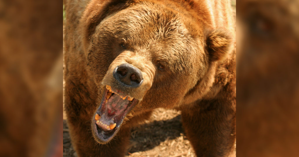 Grizzly Bears Killed After Encounters with Archery Hunters