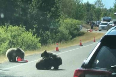 Adorable Bear Cubs Stop Traffic in Wyoming to Wrestle {VIDEO}