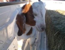 Information Sought on 4 Goats Ran over in Uinta County