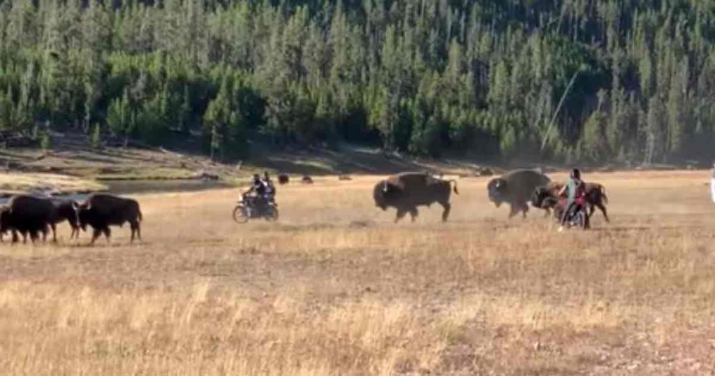 VIDEO: Motorcycle Riders Caught Harassing Bison in Yellowstone National Park