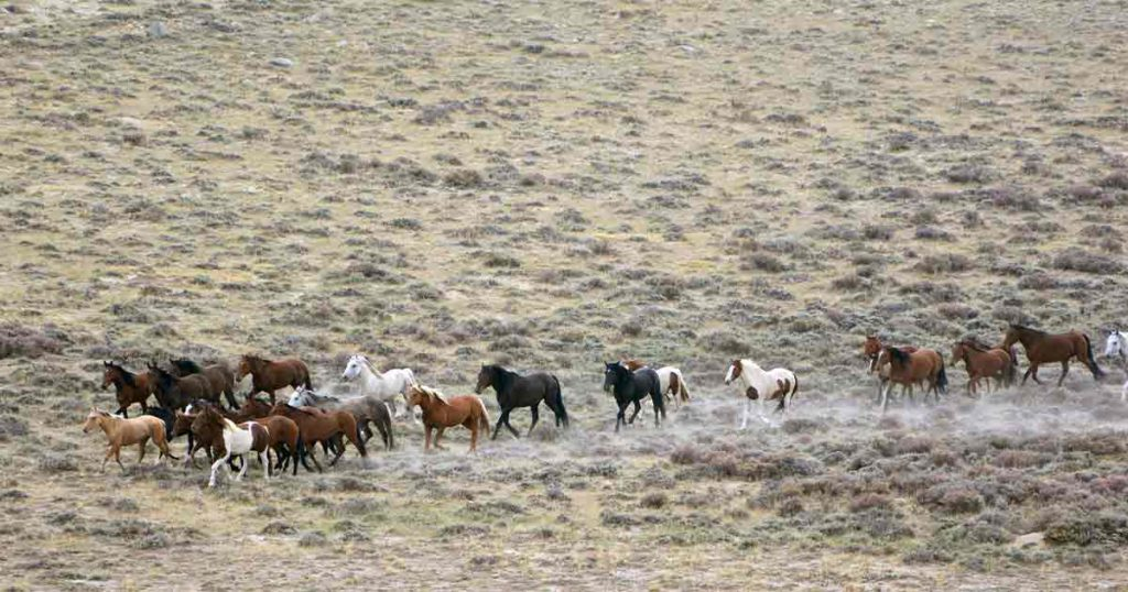 Bureau of Land Management to Gather Red Desert Wild Horses, Burros