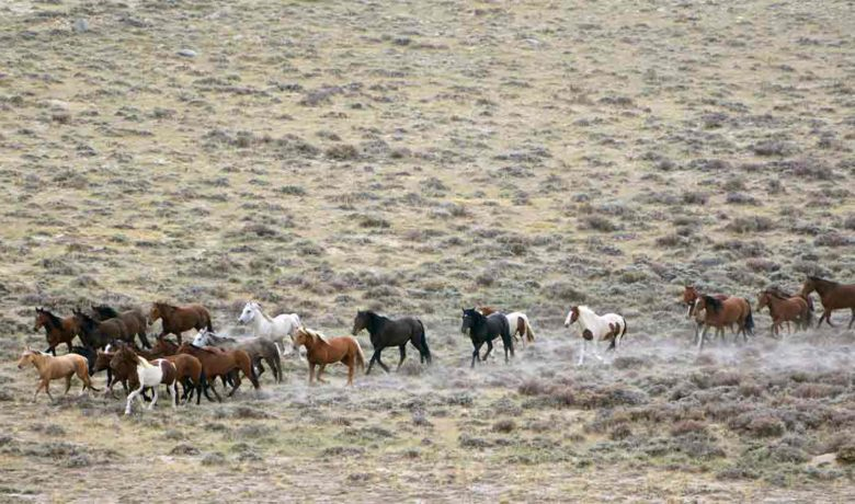 Bureau of Land Management to Gather Red Desert Wild Horses, Burros