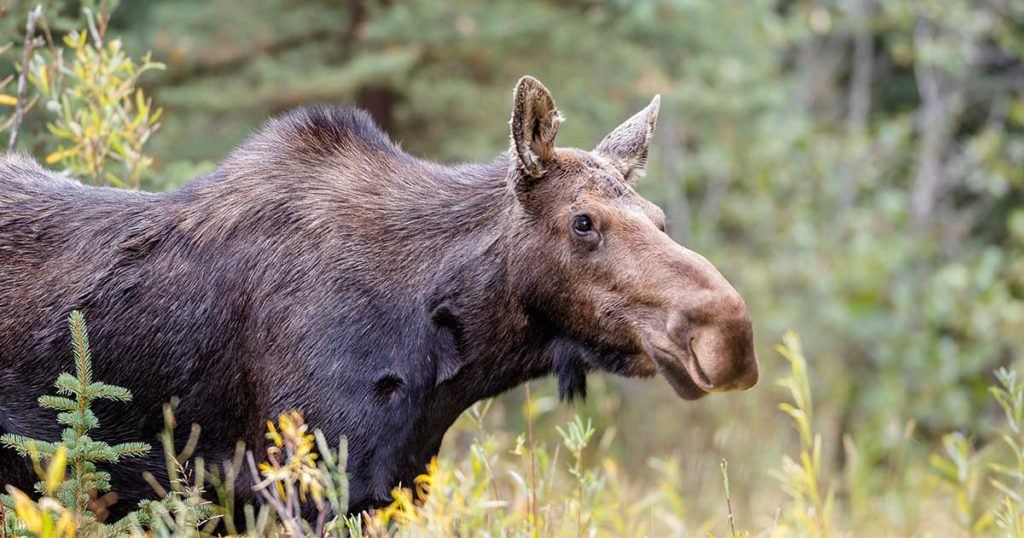 Game And Fish Seeking Tips On Moose Poaching South Of Mountain View