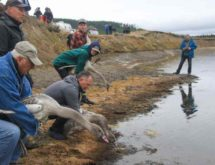 Trumpeter Swans Released in Yellowstone National Park