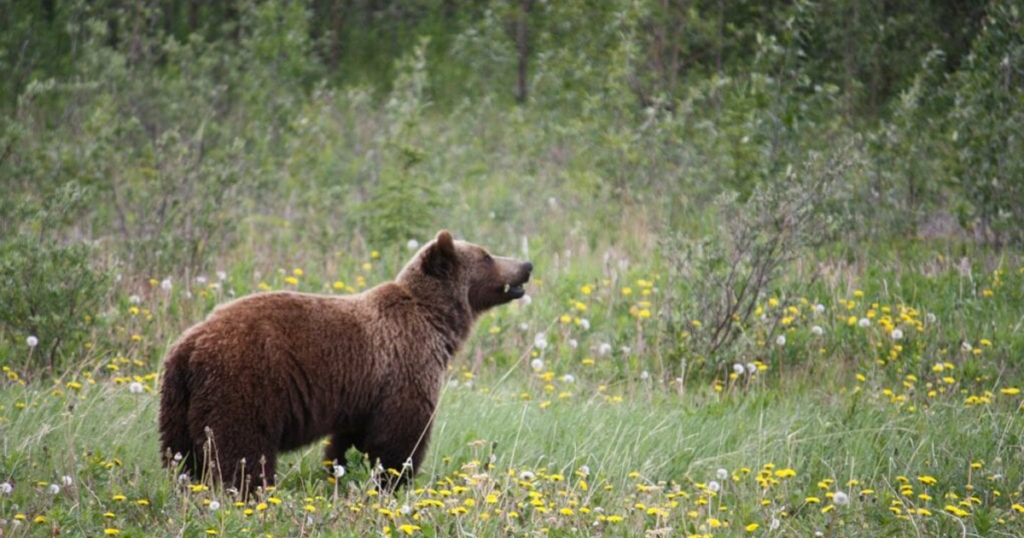 Wyoming Officials Call for Endangered Species Reform With Grizzly Population 'Booming'