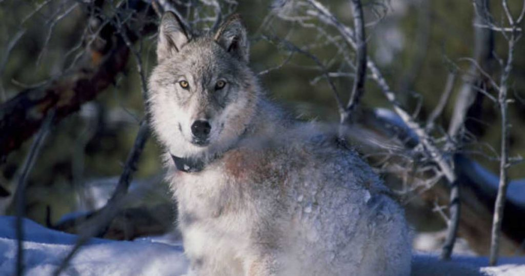 Gray Wolf Officially Delisted as Endangered in Lower 48 States