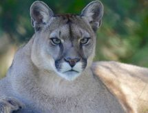 Mountain Lion Poached; Game and Fish Seeking Information