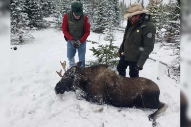 Two Moose Rescued Earlier this Month in Sheridan Area