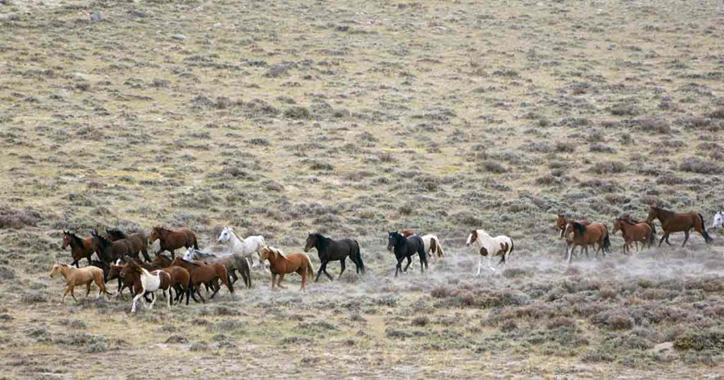 1,970 Red Desert Wild Horses Gathered by Bureau of Land Management