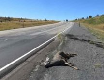 Game Wardens Report More Deer are Being Hit on Highways
