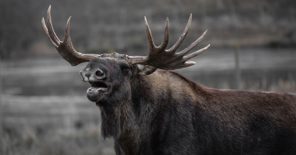 Moose, Deer Poached on Hams Fork River