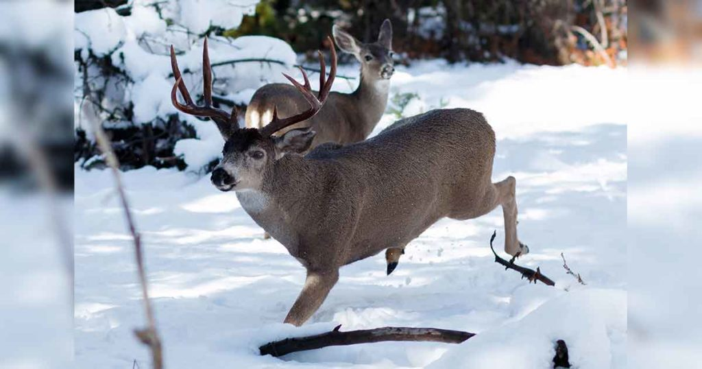 Chronic Wasting Disease Discovered in Dead Deer Southeast of Pinedale