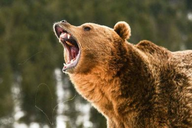 First 2021 Bear Sighting in Yellowstone National Park Reported
