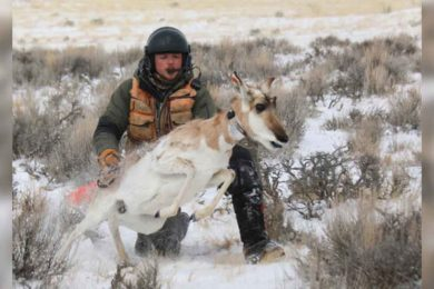 Pronghorn Migration Study Continues in Sublette Herd