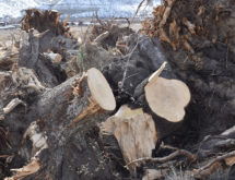 Trees Saved for Riverbank Stabilization Project Have Been Stolen