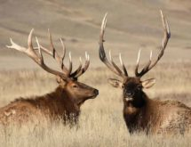 Elk Hunters Submit Over 1,000 Brucellosis Samples in 2020