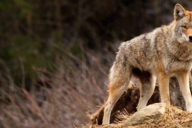 Dead Coyotes Found near Afton Did Not Die from Poisoning